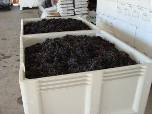 Merlot Grapes at Silver Mountain