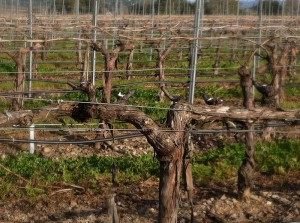 Grape Vines with Cordons