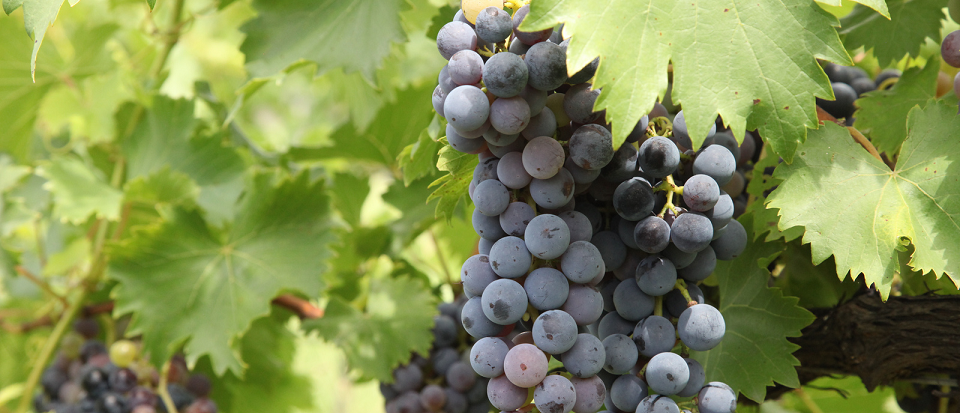 Preparing Grapes for Winemaking