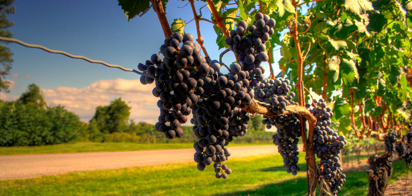 how much can a grape grower get per pound