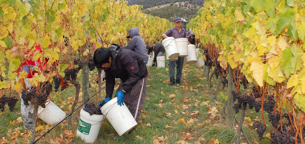 Harvesting grapes at a vineyard