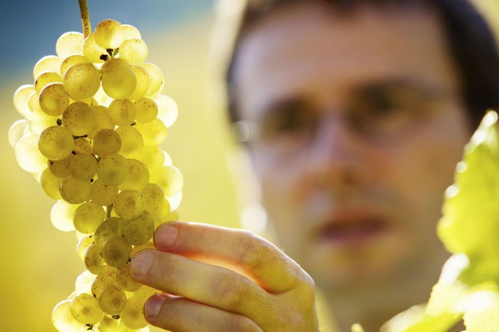 winemaker in the vineyard