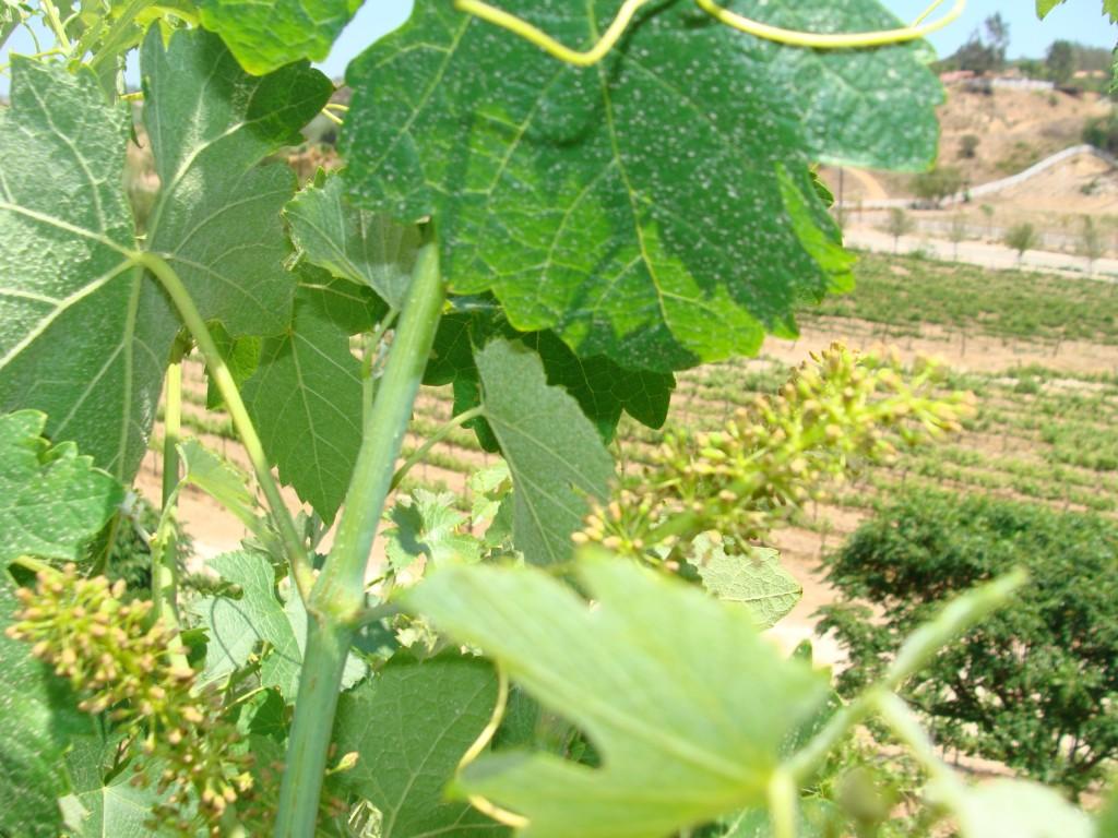 Grape Vines at Masia de Yabar