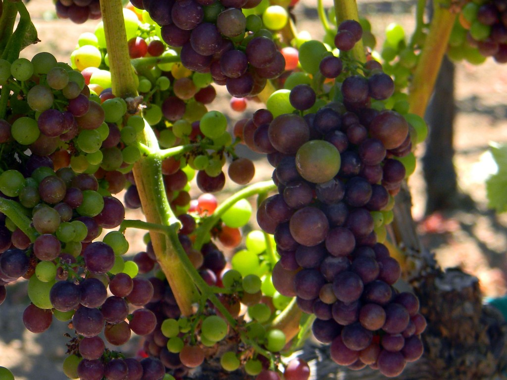 Pinot Noir Grapes in Veraison